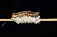 Parasitized Caterpillar (Larah McElroy) Tags: photograph photography picture pictures larah mcelroy larahmcelroy bug bugs insect insects macro caterpillar caterpillars parasite parasitized parasitizedcaterpillar wasp wasps parasiticwasps