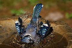 Blue Jay Taking a Bath (Anne Ahearne) Tags: wild bird animal nature wildlife birdbath blue jay splash birdwatching songbird bath