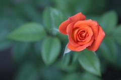 Nevena Uzurov - Red rose (Nevena Uzurov) Tags: rose red petals leves romantic love garden fragrance nature nevenauzurov serbia bokeh light sooc