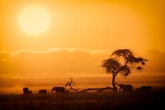 African Sunrise, Amboseli National Park (Ray in Manila) Tags: amboseli elephant kenya sunrise eos650d efs55250mm africa animal africanelephant acacia tree morning dawn safari savanna nationalpark nature landscape view wildlife wild grass mammal fauna sun herbivore orange yellow silhouette nest