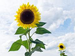 Sonnenblume groß + klein (KL57Foto) Tags: 2018 august blumen blüten düsseldorf düsseldorfurdenbach germany kl57foto landschaft nrw natur nordrheinwestfalen olympus penemp2 pflanzen sonnenblumen urdenbach urdenbacherkämpebaumbergeraue sunflower
