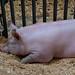 Pig Pen - Swine Barn - Animal Agriculture Buildings at Minnesota State Fair