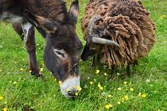 4 legged friends. (carolinejohnston2) Tags: sheep donkey animals farm field buttercups grass wool pets summer fermanagh