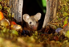 wild house mouse   (20) (Simon Dell Photography) Tags: wild garden house mouse nature animal cute funny fun moss covered log pile acorns nuts berries berrys fuit apple high detail rodent wildlife eye ears door home sheffield ul old english country s12 simon dell photography food tree