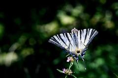 Podalirio (freguggin2010) Tags: nikon macro farfalla natura