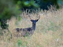 Ora ti vedo (Fernando De March) Tags: cervidi daino foresta cansiglio animale