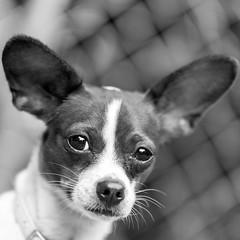 Kara02Sep201820-Edit.jpg (fredstrobel) Tags: dogs pawsatanta phototype atlanta blackandwhite usa animals ga pets places pawsdogs decatur georgia unitedstates us