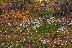 Langebaan spring of 2018 (John Cosnett) Tags: flowers wild outdoor spring colors nature southafrica westcoast africa wildflowers coastal