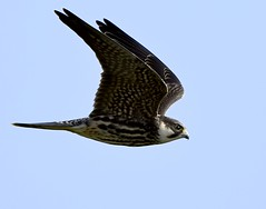 Hobby! (Carl Bovis Nature Photography) Tags: animal bird bbcspringwatch carlbovisnaturephotography chewvalleylake bristol england flight flying fly falcon hunting hobby inflight killer light nature nikon nikond500 naturallight natural northsomerset rspb raptor somerset springwatch sigma sigma150600 sigma150600c sigma150600mmc uk wildlife wings