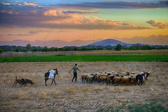Άχρονο  Timeless (Dimitil) Tags: sheep shepherd troop pastoral rural ruralscene grassland prairie dog donkey pastoralism traditionaljobs tradition country countryside province meadow pasture pastureland nature sunset clouds sky elitegalleryaoi bestcapturesaoi