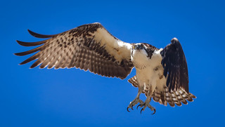 Osprey Royal Palms Beach Palos Verdes Peninsula California-1