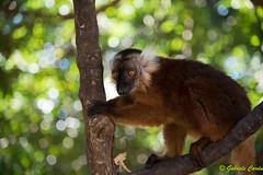 Female of Eulemur Macaco, Nosy Komba, Madagascar (Gabriele Cardu) Tags: lemur madagascar