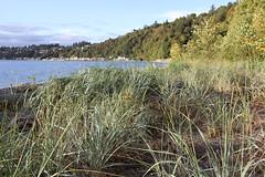 Beach Grass (DanielVolkmann) Tags: beach puget sound pugetsound