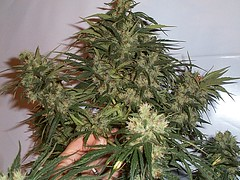 jack-herer4 (Watcher1999) Tags: jack herer herrer cannabis seeds thc weed medical marijuana jamaica california growing bob marley weeds smoking power plant seed ganja legalize it reaggae reggae