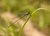 Willow Emerald Damselfly (SarahW66) Tags: emerald damselfly green bokehgreen bokehphotography bokeh naturalbokeh naturephotography nature insects insectphotography insectonplant canon80d sigmamacro sigma105mm sigma sigmanature macrolens macro macrophotography macroinsect
