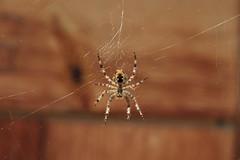 épeire à Langemo (bulbocode909) Tags: valais suisse mex longemo araignées épeires toiles montagnes nature alpagedelongemo bois