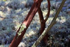Tilden Botanical Garden, Berkeley, Calif._19 (Walt Barnes) Tags: ebpaksok park nature botanicalgarden tilden tildenpark garden berkeley ca calif tree shrubs leaves bushes scenery forest woods plant landscape scene canon eos 60d eos60d canoneos60d wdbones99 manzanita