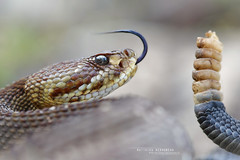 Crotalus  basiliscus (Matthieu Berroneau) Tags: trip mexique sony alpha macro nature france herpéto wildlife animal animaux ff 24x36 full frame a7ii 7ii 7mk2 sonyilce7m2 herping herpeto reptile reptilian reptilia serpent serpente snake serpentes snakes serpiente field herp venomous poisonous serpents sonya7ii sonya7mk2 sonyalpha7mark2 sonyalpha7ii 90 28 fe f28 g oss fe90f28macrogoss sonyfesonyfe2890macrogoss objectifsony90mmf28macrofe sel90m28g crotalus basiliscus crotalusbasiliscus cascabel del pacífico cascabeldelpacífico mexican west coast rattlesnake mexicanwestcoastrattlesnake green rattler mexicangreenrattler