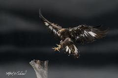 Golden Eagle_T3W3138 (Alfred J. Lockwood Photography) Tags: alfredjlockwood nature bird flight canadianraptorconservancy crc goldeneagle autumn morning canada ontario stump landing talons