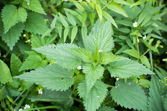 Крапива (Jess Aerons) Tags: texture commonnettle stinging bush flora nettle spring green urticadioica sting outdoor foliage closeup background nettleleaf plant garden herb meadow pain stingingnettle grow herbal natural nature botany health medicine antihistamine medical food young medicinal summer color healthy urtica grass dioica growth bunch fresh lamium wild histamine urticaceae dioecious perennial trichomes flowering
