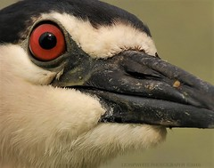 big red eye (don.white55 That's wild...) Tags: blackcrownednightheronnycticoraxnycticorax donpwhitephotography canoneos70d tamronsp150600mmf563divcusda011 animal bird heron avain closeup profile redeye nature wildlife harrisburgpennsylvania dauphincounty tightcrop birding birdwatching beak birdeye canon 150600mm eye feathers harrisburgwildlife pennsylvaniawildlife outdoors ornithology