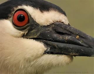big red eye