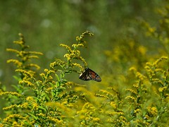 goldenrod (1) (mainesandy) Tags: nature goldenrod autumn butterlies monarch