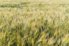 (popmarttour) Tags: blé natureetpaysages végétaux coquelicot