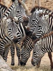 zebra Burgerszoo JN6A4018 (j.a.kok) Tags: zebra grantzebra animal africa afrika herbivore mammal zoogdier dier burgerszoo burgerzoo