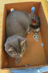 Millie 23 August 2018 0800Ri 4x6 (edgarandron - Busy!) Tags: millie graytabby cat cats kitty kitties tabby tabbies cute feline
