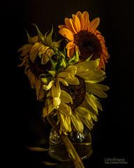 What Dreadful Hot Weather We Have (Peeblespair) Tags: summer janeaustin dreadful hot sunflowers wilting peeblespairphotography raelawsonstudios stilllife floral flowers fading