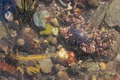 Asian Shore Crab, Hemigrapsus sanguineus (De Haan, 1853) (Misenus1) Tags: odiornepointstatepark ryenh newhampshire animalia arthropoda malacostraca decapoda varunidae hemigrapsussanguineus crabs taxonomy:kingdom=animalia taxonomy:phylum=arthropoda taxonomy:class=malacostraca taxonomy:order=decapoda taxonomy:family=varunidae taxonomy:binomial=hemigrapsussanguineus