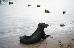 daisy dog, part five (manyfires) Tags: dog canine furry animal animalscape portrait daisy daisyscape labrador pointer mix cross film analog lakeoswego oregon pnw pacificnorthwest georgerogerspark river shore shoreline bokeh sand beach ducks duck