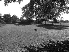 Checking out the Dog Park (B&W) (neukomment) Tags: bw blackwhite parks michigan august 2018 summer dogs android