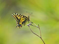 "1-butterfly-DSC01837 (John ""Igor S."" Moffitt) Tags: minolta af apo 300mm f28 14x tc butterfly"