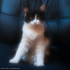 _DSC4262 (Pascal Rey Photographies) Tags: pascalrey nikon d700 luminar2018 cat katze chat chatte gatto gato animaux animalerie animals animales animali tiere pascalreyphotographies photographiecontemporaine photos photographie photography photographiedigitale photographienumérique photograffik photographierurale