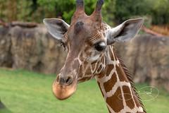 Tatu in the rain (shutterbugdancer) Tags: africansavanna giraffe reticulatedgiraffe fortworthzoo rainyday laborday rain