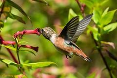 Hovering Selasphorus hummingbird in August (lhc005) Tags: allenshummingbird bird inflight male