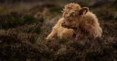 Highland Cattle Calf-1 (Explored 8.9.2018) (neil 36) Tags: highland cattle calf heather calluna vulgaris