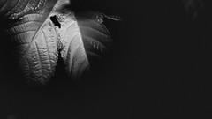 Spot (Ojo de Piedra) Tags: plants shapes blackwhite moody fujifilm fujixseries shadows monochrome xt10 darknature dark xf1855mm lowkey darkness nature flora closeup