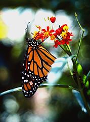 Monarch (Danaus plexippus) on Milkweed (nedjetwave) Tags: butterflies monarch danausplexippus milkweed insects invertebrates fauna feeding lepidoptera sigma200mmf4scalematic practicallc buckfastleigh devon kodachrome scanfromfilm reversalfilm