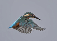 Kingfisher (alcedo atthis) (Steve Ashton Wildlife Images) Tags: kingfisher alcedo atthis alcedoatthis