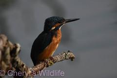 Kingfisher (Cheryl's Wildlife) Tags: wildlife nature suffolk rspb birds 2018 birdwatching nikon sigma photography east eastanglia naturereserve lackfordlakes lakes kingfisher wildlifetrust