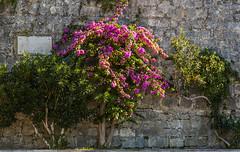 Croatia / Kroatien: Korčula (CBrug) Tags: kroatien november 2012 korčula croatia wand wall pflanze plant mauer flower blüten croazia croatie croacia kroatië hrvatska chorwacja croácia kroatia stone stein