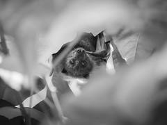 grey-headed flying fox - 0199 (liam.jon_d) Tags: iucn iucnredlist pteropuspoliocephalus mono adelaide adelaidecity animalportrait arty australia australian bw bat billdoyle blackandwhite environment environs flyingfox fruitbat greyheaded greyheadedflyingfox hang hanging internationalunionfortheconservationofnature lake monochrome parklands portrait pteropus rivertorrens sa southaustralia southaustralian status threatenedspecies threatenedspecieslist torrens vulnerable