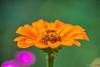 Big orange (fs999) Tags: 100iso fs999 fschneider aficionados zinzins pentaxist pentaxian pentax k1 pentaxk1 fullframe justpentax flickrlovers ashotadayorso topqualityimage topqualityimageonly artcafe pentaxart corel paintshop paintshoppro 2018ultimate paintshoppro2018ultimate macrolife macro makro masterphotos fleur flower blume bloem tamronspafdi90mmf28macro tamron sp af di 90mm macrolens 11 f28