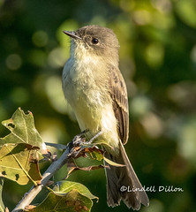 Eastern Phoebe (Lindell Dillon) Tags: easternphoebe flycatcher bird birding nature oklahoma wildoklahoma