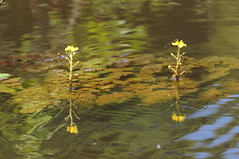 Flowers in mid-stream (tim ellis) Tags: amazon holiday rionegro iracema flower river water manaus brazil reflection