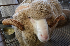 DSC_8993 merino ram, 2018 Royal Adelaide Show, Wayville, South Australia (johnjennings995) Tags: merino ram sheep royaladelaideshow wayville southaustralia australia agriculture