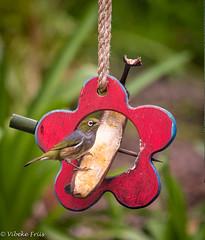 180921 114827 (friiskiwi) Tags: bird inmygarden waxeye